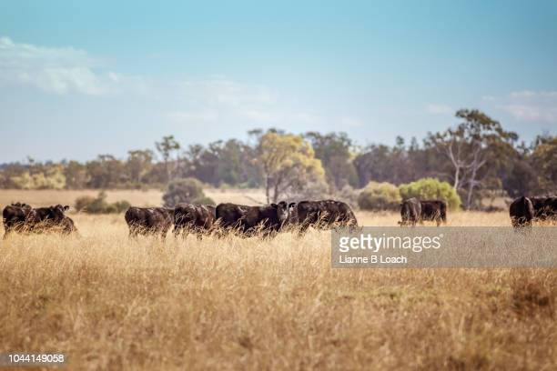 black cattle herd - lianne loach stock pictures, royalty-free photos & images