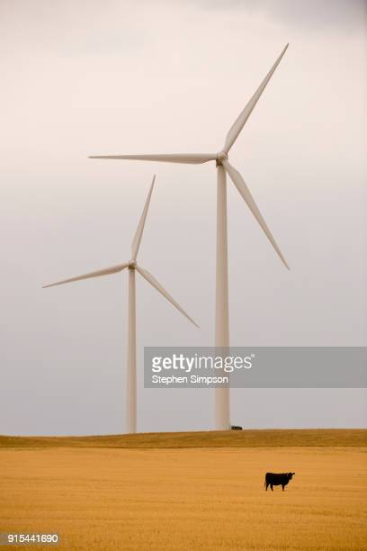 black cattle in harvested wheat field among immense wind turbines - vertical stock pictures, royalty-free photos & images
