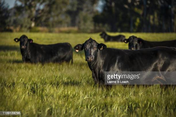black cattle - lianne loach stock pictures, royalty-free photos & images
