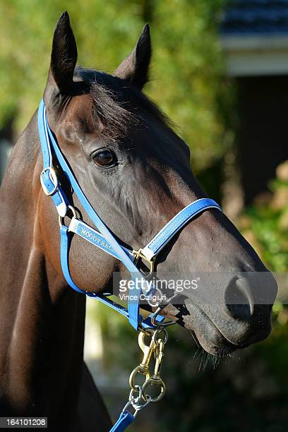 Black Caviar parades in front of the media at Caulfield racecourse on March 20 2013 in Melbourne Australia Black Caviar will aim to win her 24th...