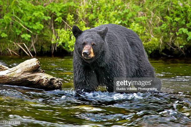black cear - black bear stock pictures, royalty-free photos & images