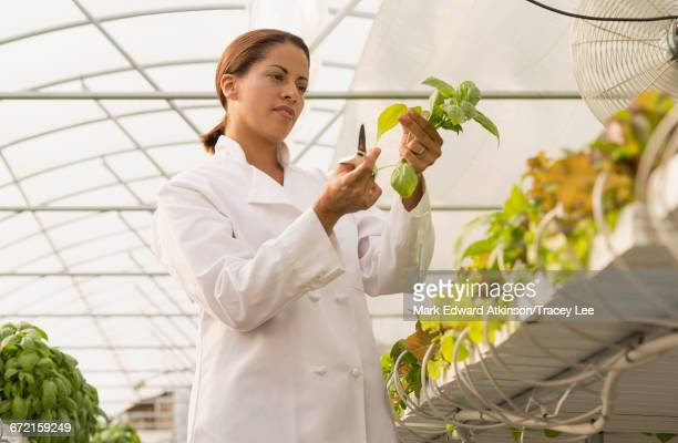 Black chef standing in greenhouse cutting basil