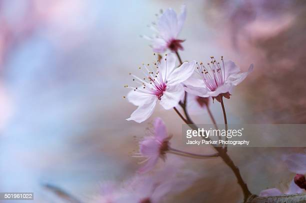 Black Cherry Plum Pink Blossom