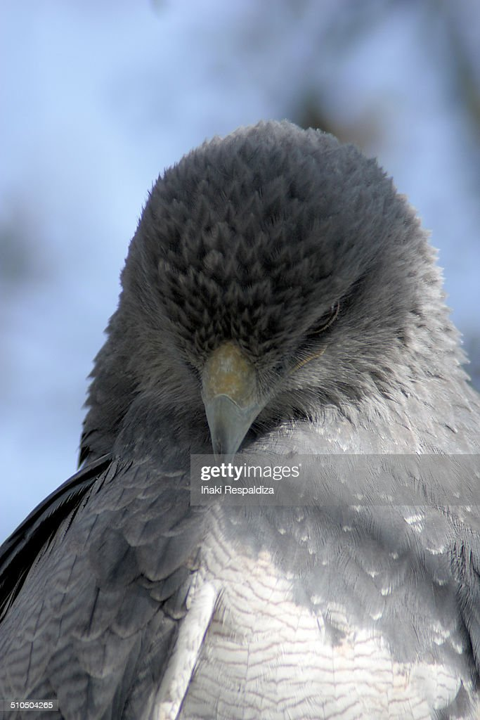 Black chested buzzard eagle : Stock-Foto