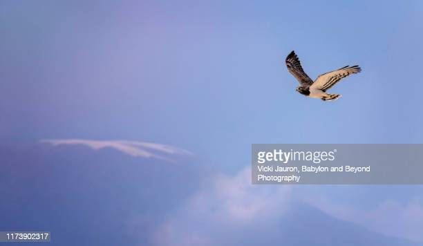 black chested snake eagle flying against kilimanjaro at amboseli park, kenya - black chested snake eagle stock pictures, royalty-free photos & images