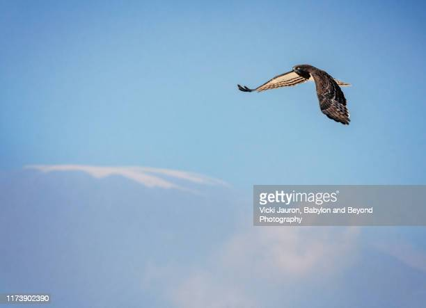 black chested snake eagle in flight against kilimanjaro at amboseli park, kenya - black chested snake eagle stock pictures, royalty-free photos & images