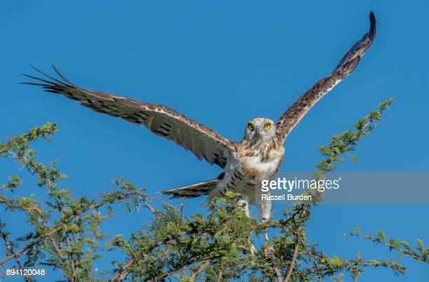 black chested snake eagle in flight - black chested snake eagle stock pictures, royalty-free photos & images