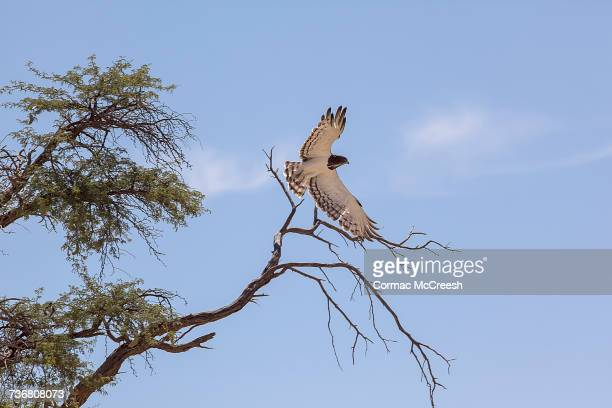 black chested snake eagle on take-off - black chested snake eagle stock pictures, royalty-free photos & images