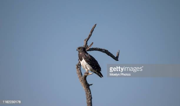 black - chested snake eagle (4) - black chested snake eagle stock pictures, royalty-free photos & images