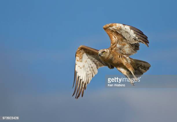 black chested snake eagle - black chested snake eagle stock pictures, royalty-free photos & images