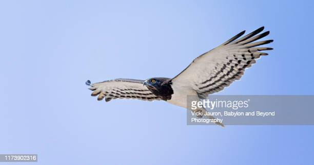 black chested snake in flight close up at amboseli park, kenya - black chested snake eagle stock pictures, royalty-free photos & images