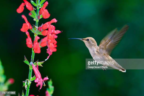 black chinned hummingbird hovering by a chuparosa flower, arizona, america, usa - hovering stock pictures, royalty-free photos & images