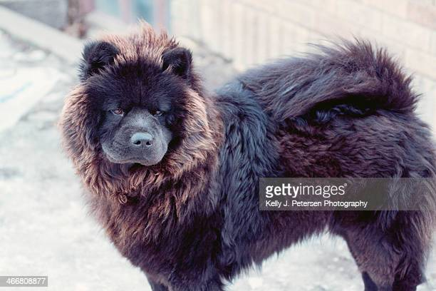 black chow chow - chow dog stock pictures, royalty-free photos & images