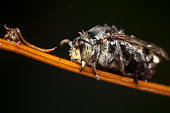 black cloak dagger cuckoo bee thyreus