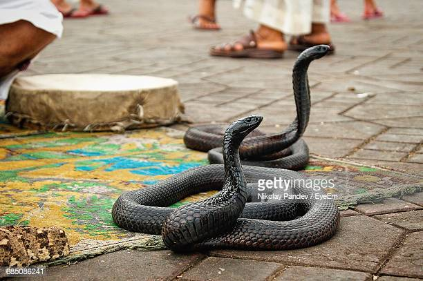black cobras on carpet at footpath - black snake stock pictures, royalty-free photos & images