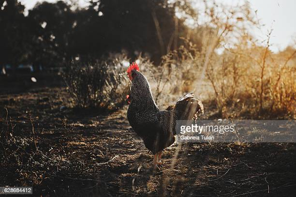 black cock on village yard at sunset. - cockerel stock pictures, royalty-free photos & images