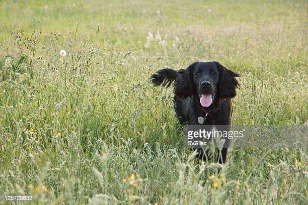 black cocker spaniel - cocker spaniel stock photos and pictures