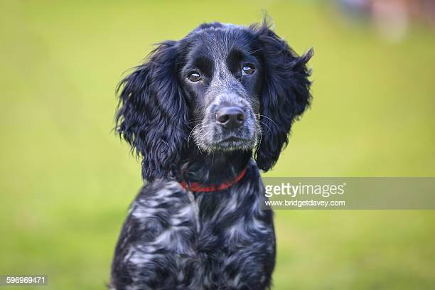 black cocker spaniel puppy - cocker spaniel stock photos and pictures