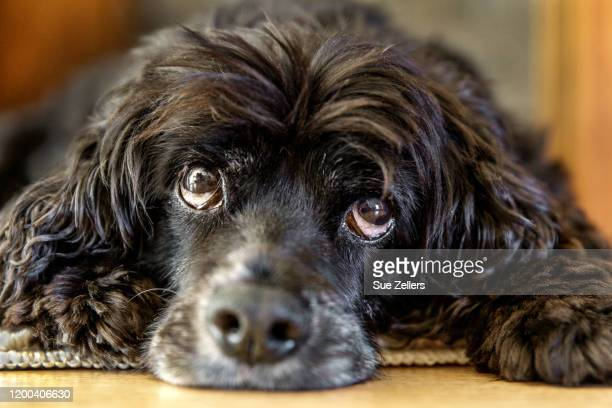 black cocker spaniel with sad eyes - cocker spaniel stock pictures, royalty-free photos & images