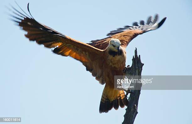 a black collared hawk, busarellus nigricollis, alighting on a branch. - alex saberi stock-fotos und bilder