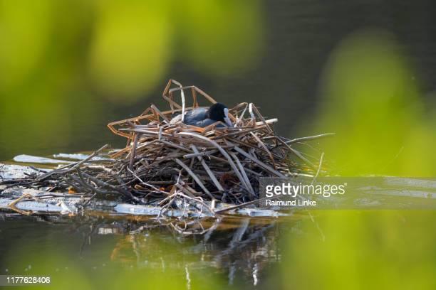 black coot, fulica atra, on nest, lake backhausteich, jagdschloss kranichstein, darmstadt, hesse, germany - tierbauten stock-fotos und bilder