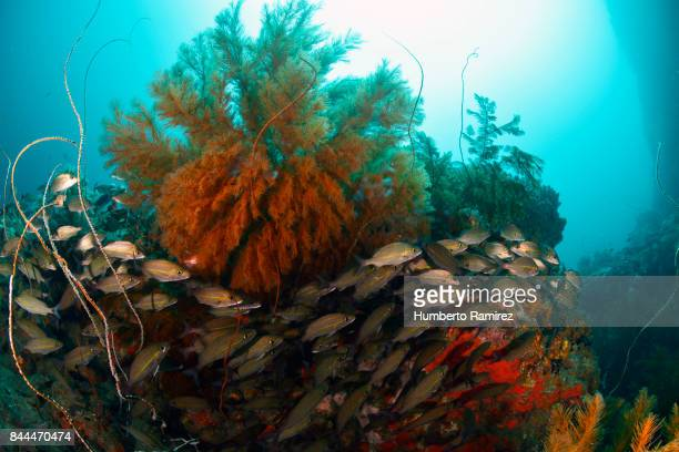 Black Coral and Tomtates.