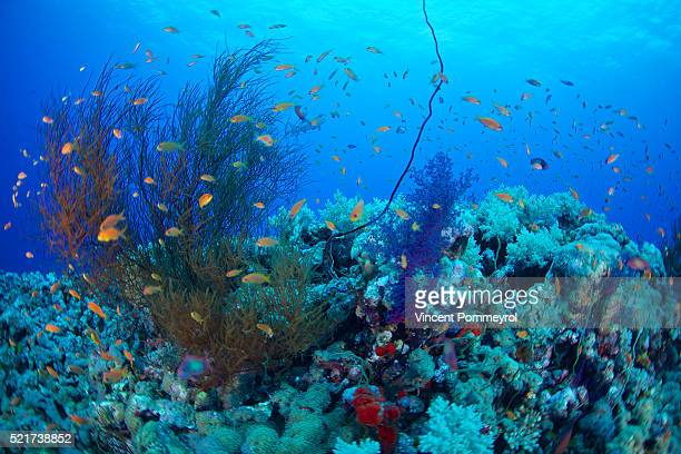 Black corals (Antipatharia)