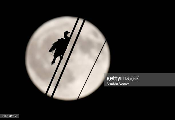 A black cormorant bird is seen settled on a hightenison power line wire as the full moon rises in the sky on a autumn night in Meles delta of Izmir...