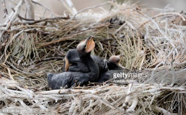Black cormorant chicks sitting on the nest waiting for the parents to feed them around Adiguzel Dam located in Ulugbey district of Usak province,...
