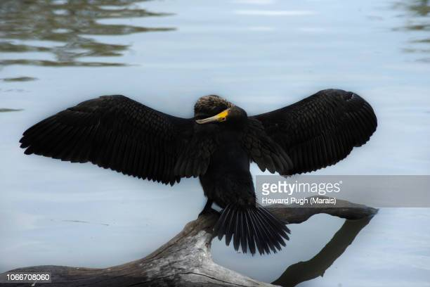 Black Cormorant. Spring Stretch. Richmond Park
