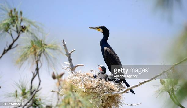 Black cormorants are seen at their nests around Adiguzel Dam located in Ulugbey district of Usak province, Turkey on May 9, 2019.