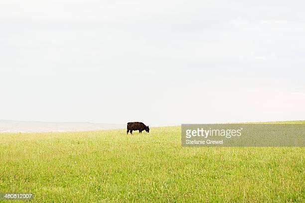 Black cow grazing alone in grassy meadow