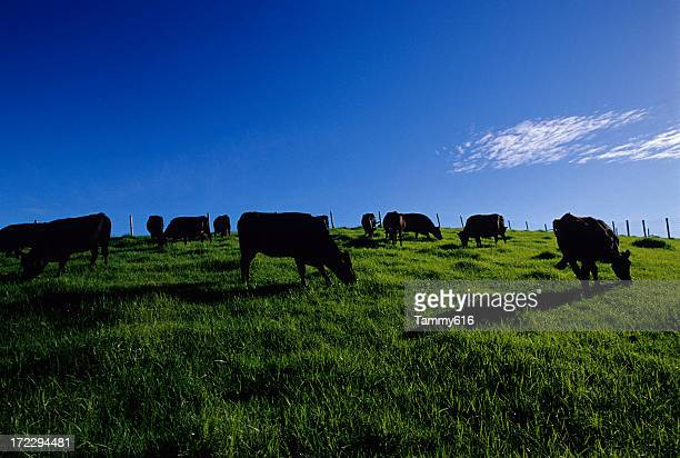 black cows in green field - grazing stock pictures, royalty-free photos & images