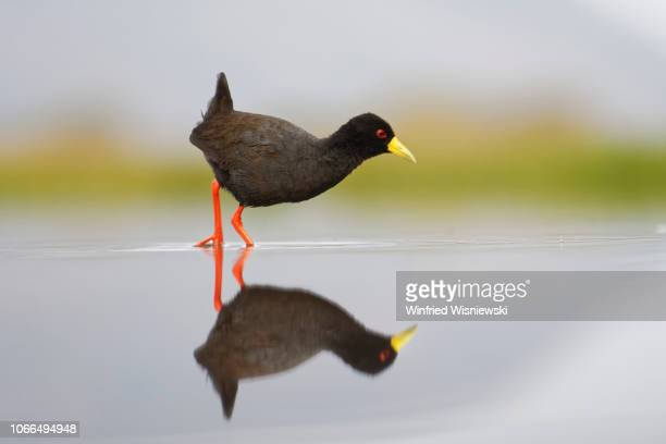 black crake - vogel stock pictures, royalty-free photos & images