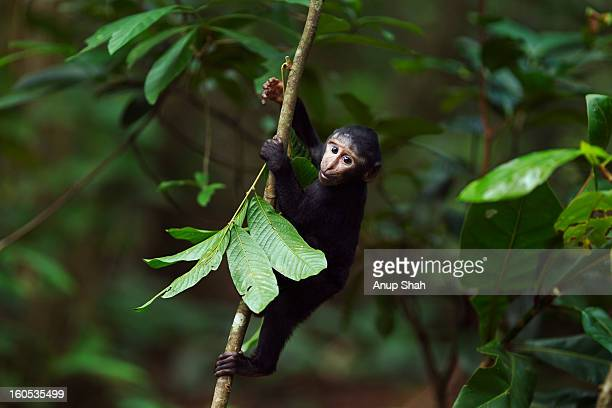 Black crested macaque baby playing in a tree