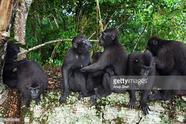 Black crested macaque females greeting