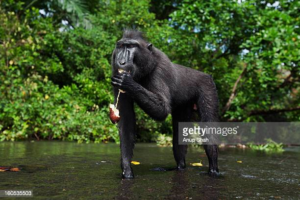 Black crested macaque male feeding on a fruit
