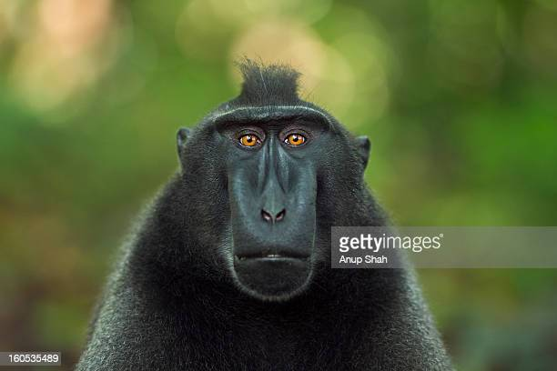 Black crested macaque mature male head portrait