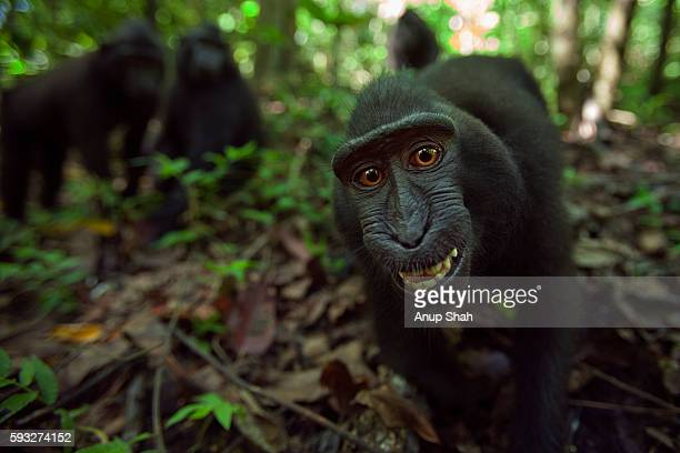 Black crested or Celebes crested macaque juvenile approaching with curiosity