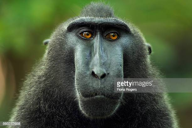 Black crested or Celebes crested macaque
