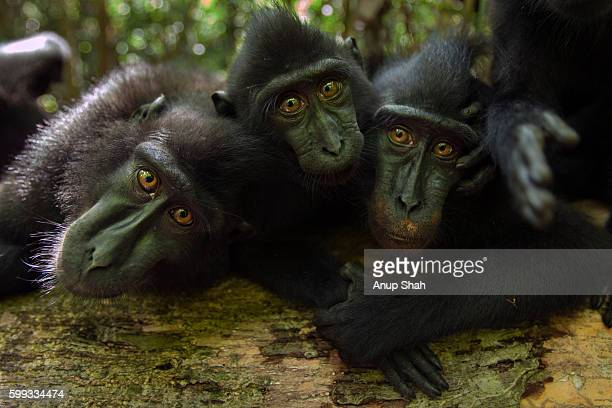 Black crested or Celebes crested macaques lying playfully on a fallen tree