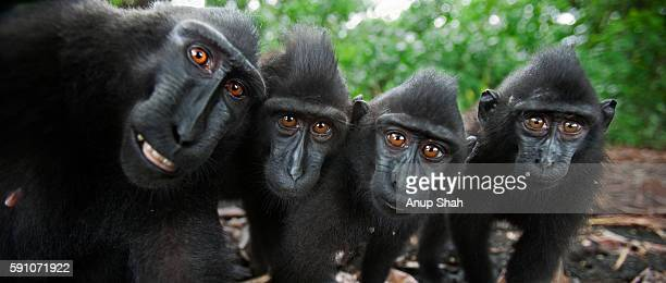 Black crested or Celebes crested macaques watching closely