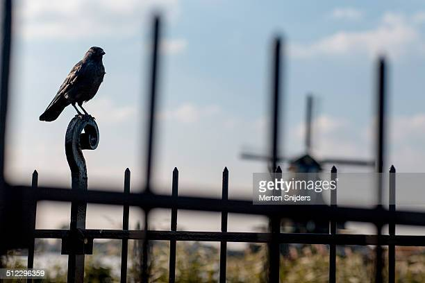 black crow on fence at dutch windmill - merten snijders stockfoto's en -beelden