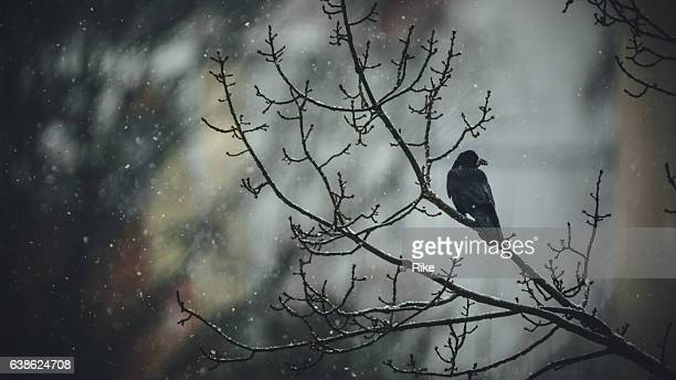 black crow sitting on a branch in snowy winter - ravens stock photos and pictures