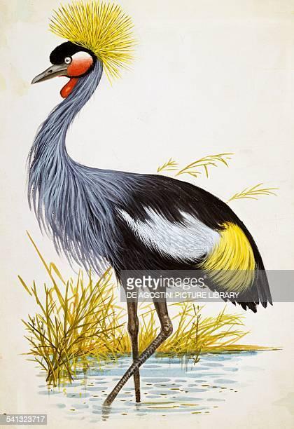 Black crowned crane Gruidae drawing