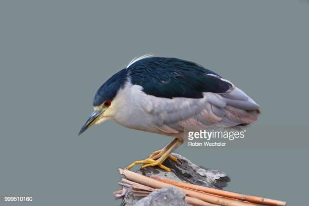 Black Crowned Night Heron on Las Gallinas Ponds