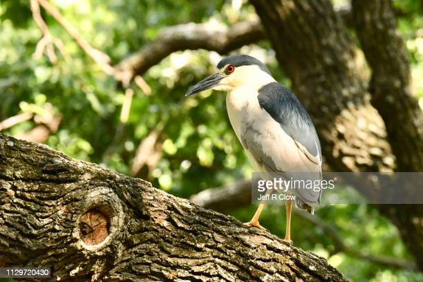 black crowned night heron - rookery stock pictures, royalty-free photos & images