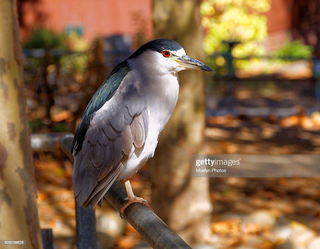 Black Crowned Night Heron : Stock Photo