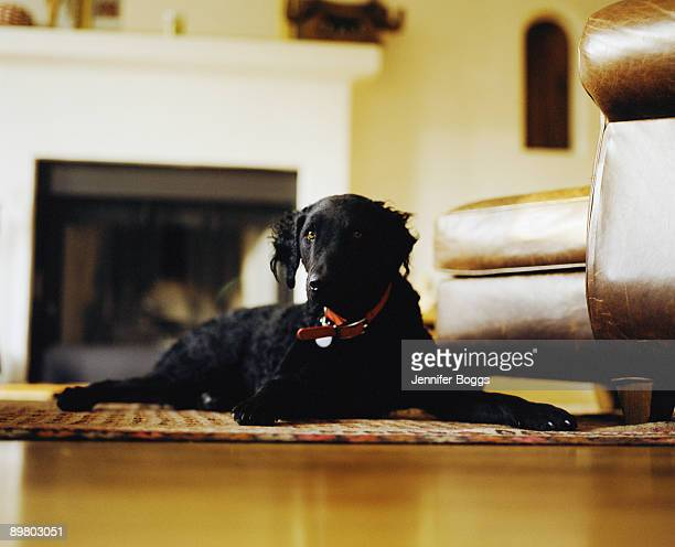 Black curly-coated retriever lying on rug