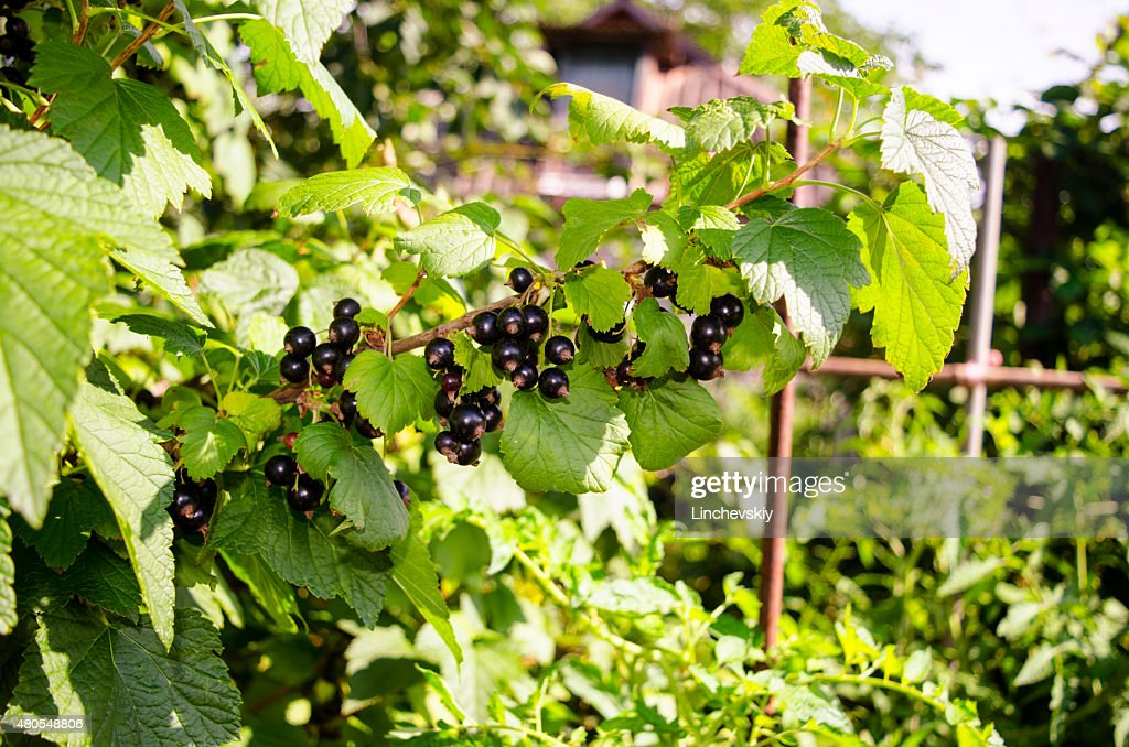 Black currant branch in the garden : Stock Photo